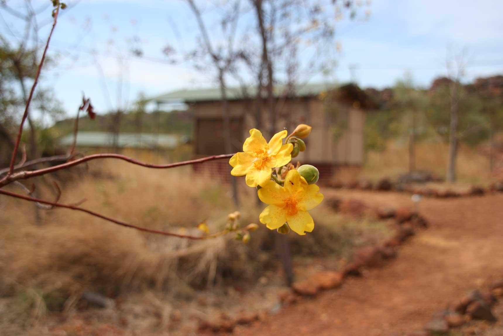 Kapok-flower—FAB-(2)
